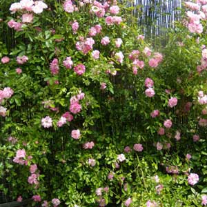 Photo de  Rosier de banks Rosea (rose)