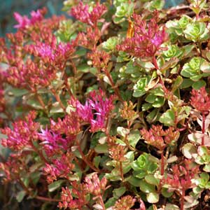 Photo de  Sedum spurium