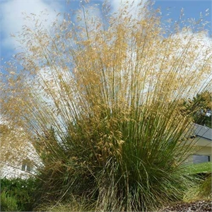 Photo de  Stipa gigantea