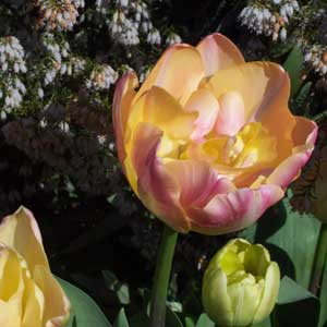Photo de  Tulipe double tardive Charming Beauty