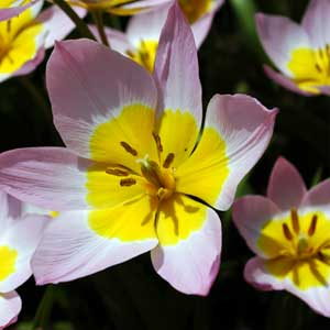 Photo de  Tulipe botanique Bakeri Lilac Wonder