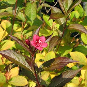 Photo de  Weigela Bristol Ruby