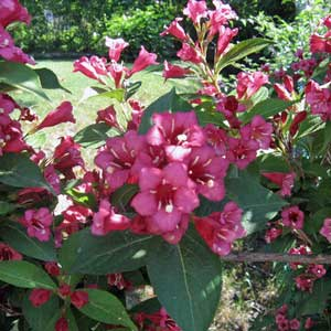 Photo de  Weigela 'Red Prince' rouge