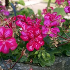 Photo de  Géranium lierre double rose (Pelargonium peltatum)