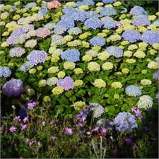 Photo de  Hortensia à grandes feuilles Endless Summer® The original®