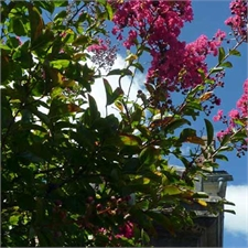 Photo de  Lilas des Indes rose clair, Lagerstroemia indica Rosea Grassi