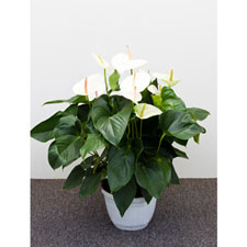 Photo de  Anthurium blanc