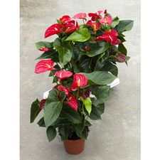 Photo de  Anthurium rouge