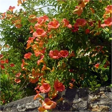Photo de  Bignone, Campsis radicans