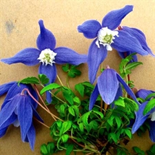 Photo de  Clematis alpina Frances Rivis