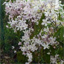 Photo de  Clematis armandii 'Apple blossom'