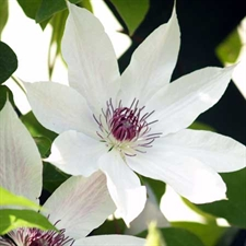 Photo de  Clematis pat. 'Snow Queen'