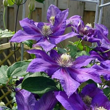 Photo de  Clematis pat. 'Mrs N. Thompson'