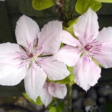 Photo de  Clematis jack. Pink Fantasy