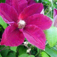 Photo de  Clematis jack. 'Rouge Cardinal'