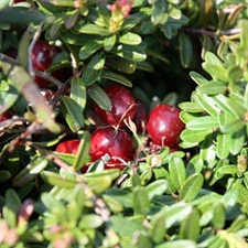 Photo de  Cranberry (Vaccinium marcocarpon)