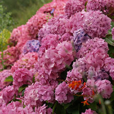 Photo de  Hortensia des jardins rose