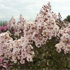 Photo de  Lilas des Indes Burgundy Cotton ® , Lagerstroemia indica