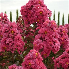 Photo de  Lilas des Indes Durant Red, Lagerstroemia indica
