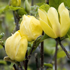 Photo de  Magnolia Yellow Bird