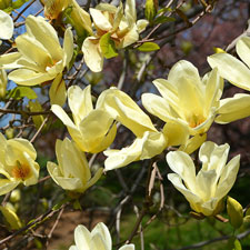 Photo de  Magnolia Elisabeth