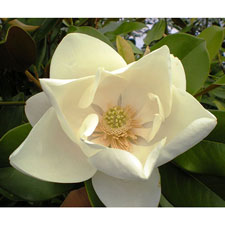 Photo de  Magnolia grandiflora Le Nantais