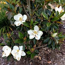 Photo de  Magnolia grandiflora Little Gem