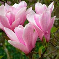 Photo de  Magnolia Heaven Scent