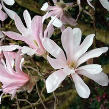 Photo de  Magnolia x loebneri Leonard Messel