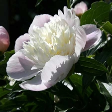 Photo de  Pivoine officinale alba plena