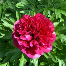 Photo de  Pivoine officinale rubra plena