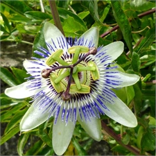 Photo de  Passiflore bleue, Passiflora caerulea