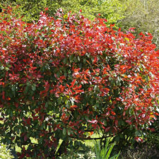 Photo de  Photinia Red Robin