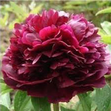 Photo de  Pivoine Black Beauty