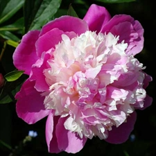 Photo de  Pivoine de Chine Bowl of Beauty