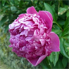 Photo de  Pivoine de Chine