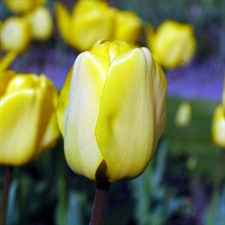 Photo de  Tulipe Darwin Golden Apeldoorn