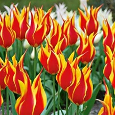 Photo de  Tulipe fleur de lys Fly Away