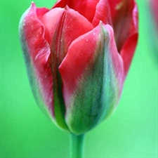 Photo de  Tulipe viridiflora Red Spring Green