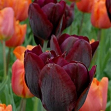 Photo de  Tulipe triomphe Ronaldo