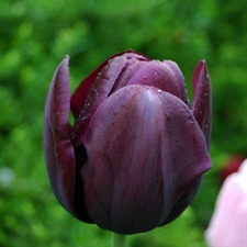 Photo de  Tulipe Simple tardive Queen of Night