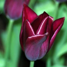 Photo de  Tulipe Triomphe Havran