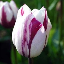 Photo de  Tulipe Triomphe Zurel