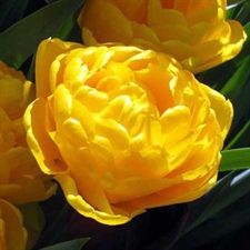 Photo de  Tulipe double tardive Yellow Pomponette